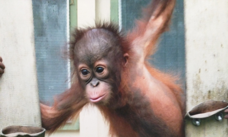 Beryl the Orangutan