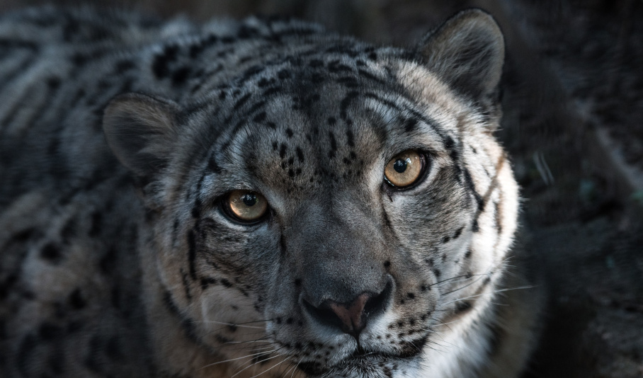 Adopt a Snow Leopard – £10 – WWF